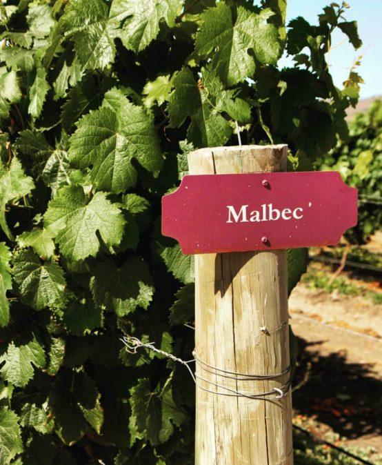 Француз с латиноамериканской душой – виноград Мальбек
